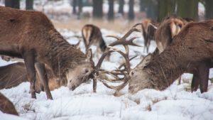 elk-fight