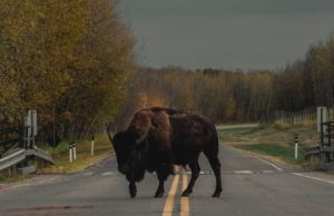 Buffalo In The Road