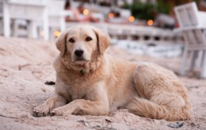 Yellow Dog on Beach